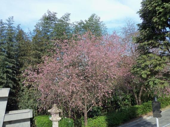 Florada das cerejeiras. zu lai