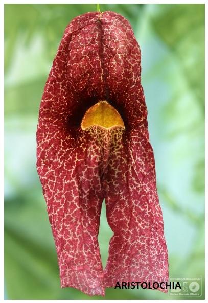 flor da Aristolochia