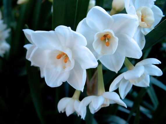 Narciso flor